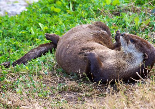 Northern River Otter rolling in the grass