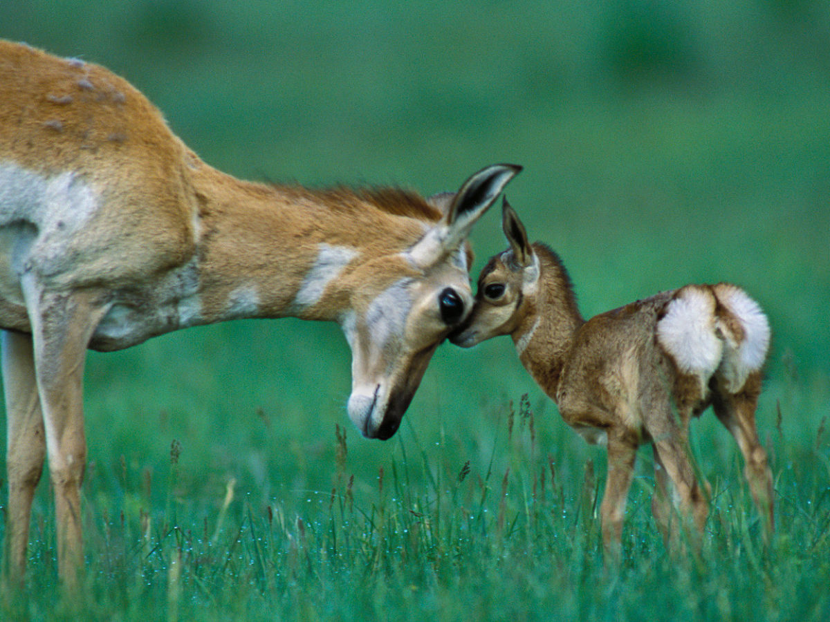 Two deer, a mother and baby in a green field.